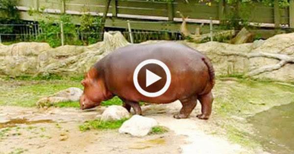 Hippo Farts And Has Explosive Diarrhea Gastronomia Y Viajes