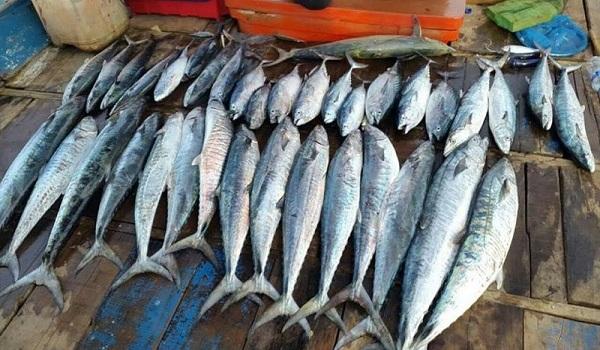 harga ikan tenggiri