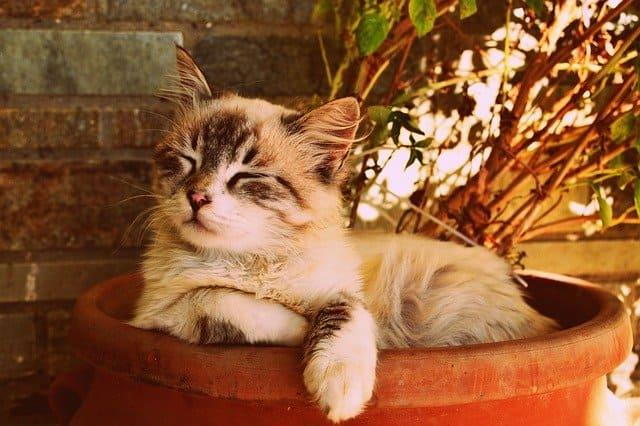 perilaku kucing hamil
