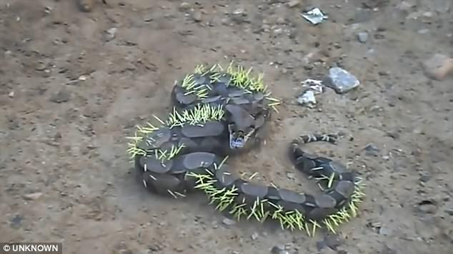 UNBELIEVABLE! This Snake Attempted to Eat a Porcupine and This Is What Happened Next! You Must See This!