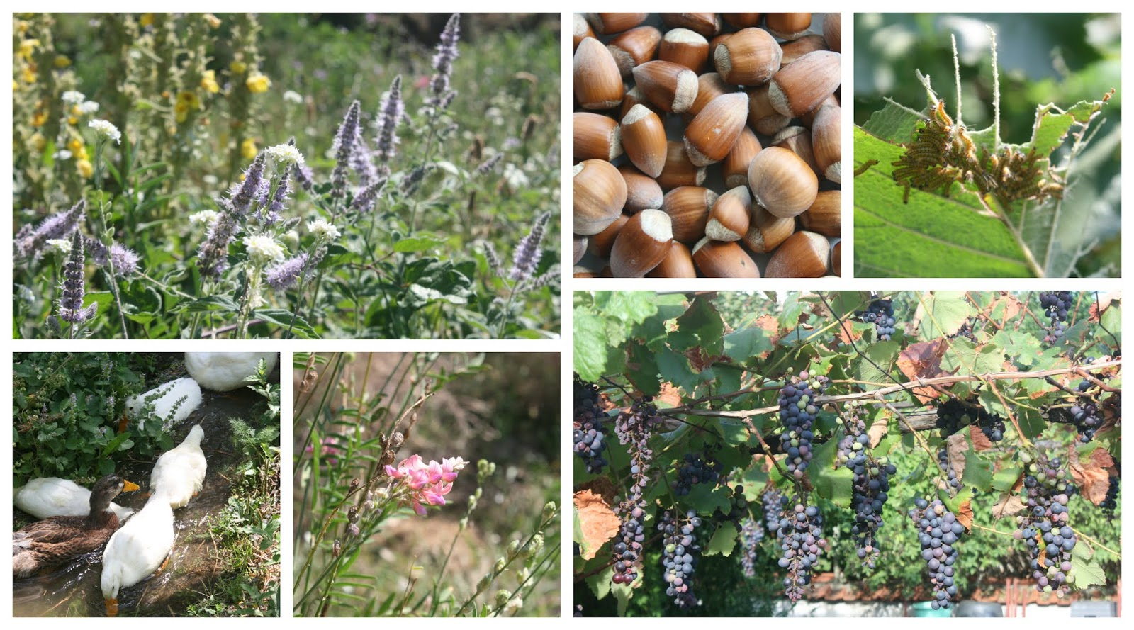 week in the gardens and as the summer draws to a close the harvest season is upon us with plenty to pick and process as we wind down into the autumn
