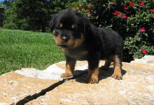 Cute Puppy Dogs Rottweiler Puppies