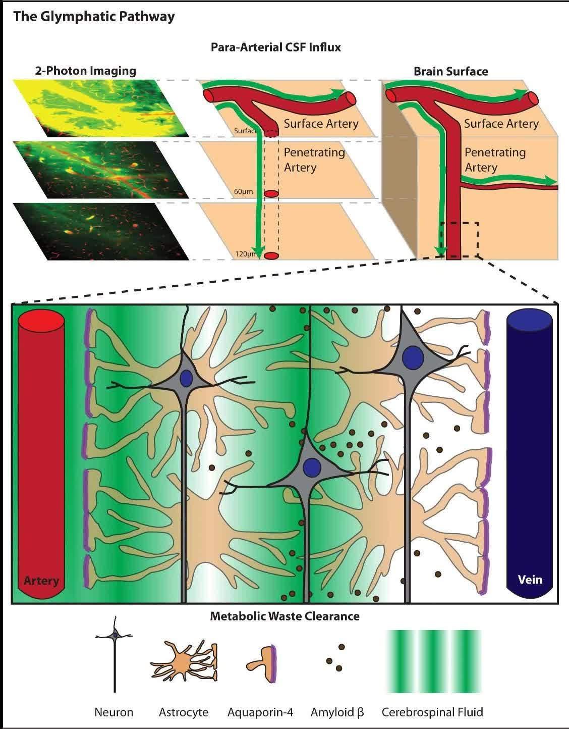 脳内のグリンパティックシステムの動脈から静脈へと脳精髄液がアミロイドβを洗い流す概略