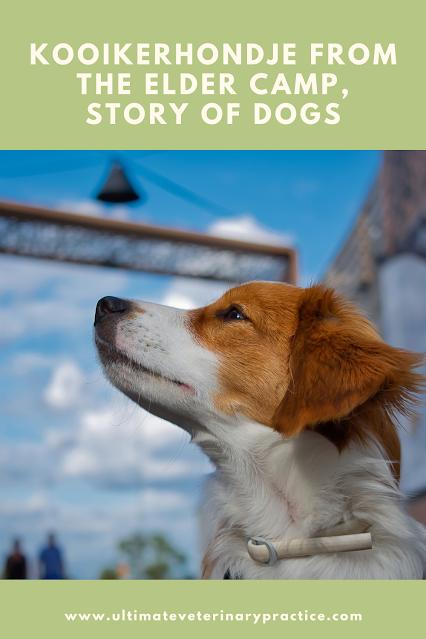 Kooikerhondje from the Elder Camp, Story of Dogs