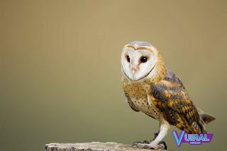 Contoh Hewan Aves - Burung Hantu