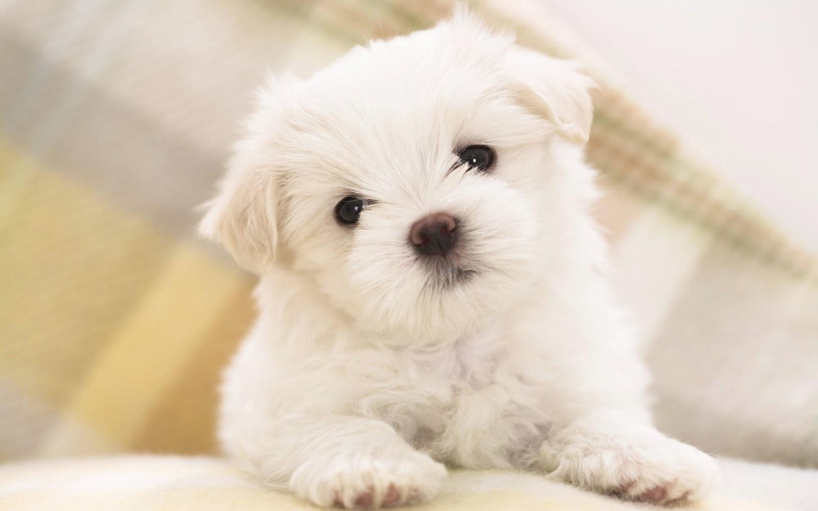 Cute Puppy Dogs: cute maltese puppy