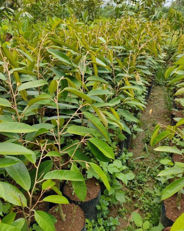 bibit durian musangking jumbo hasil okulasi unggul Banten