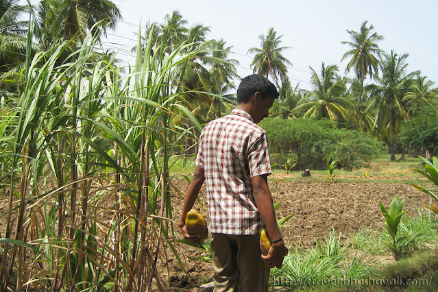 Cutting fresh coconuts at Thalavapalayam, Karur, Tamil Nadu