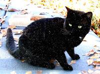 stray black cat of mandarin