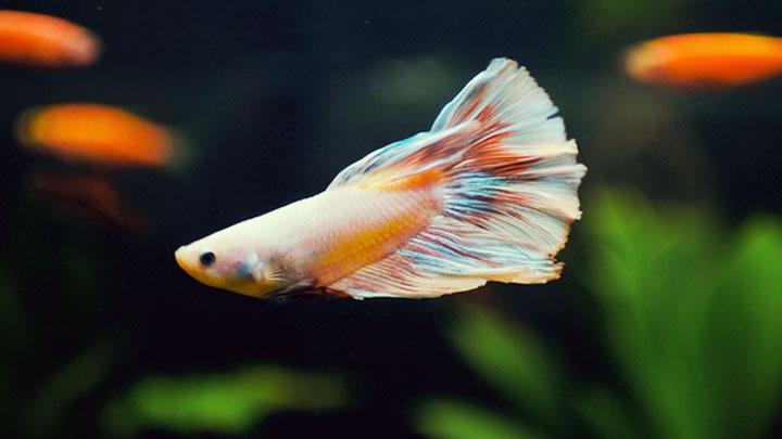 rare types of betta Fish