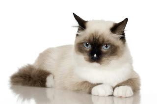 القط السيامي الأبيض