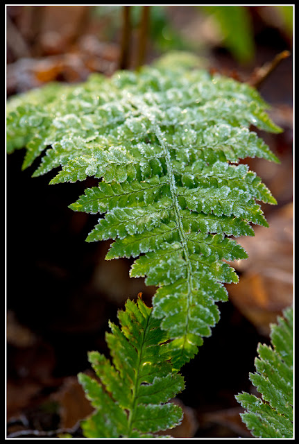 Nova Scotia; Nature; Autumn; Fern; Frost