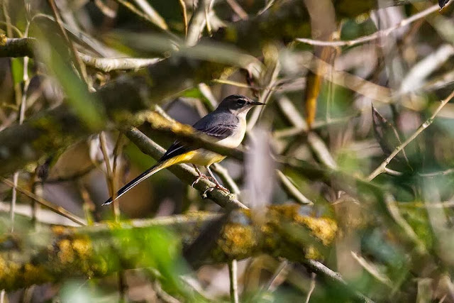 Grey Wagtail in bushes