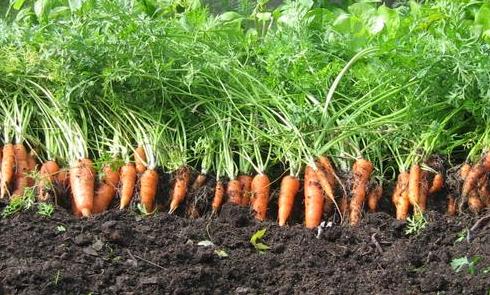 usaha menanam wortel