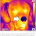 Cientistas descobrem que os cães possuem outro sentido: sensor de calor no nariz!