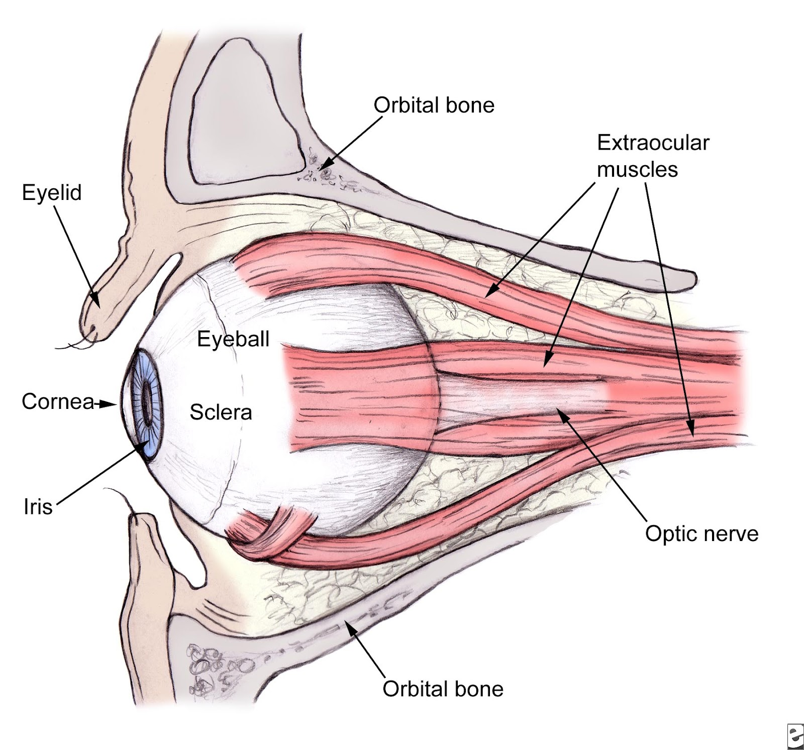 Parts Of The Eyelid Diagram 220 Volt Outlet Wiring Eye Muscles