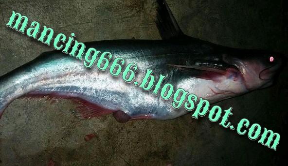 Ikan Patin Tidak Mau Makan Umpan