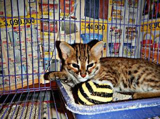 Cara Memelihara Kucing Hutan agar jinak