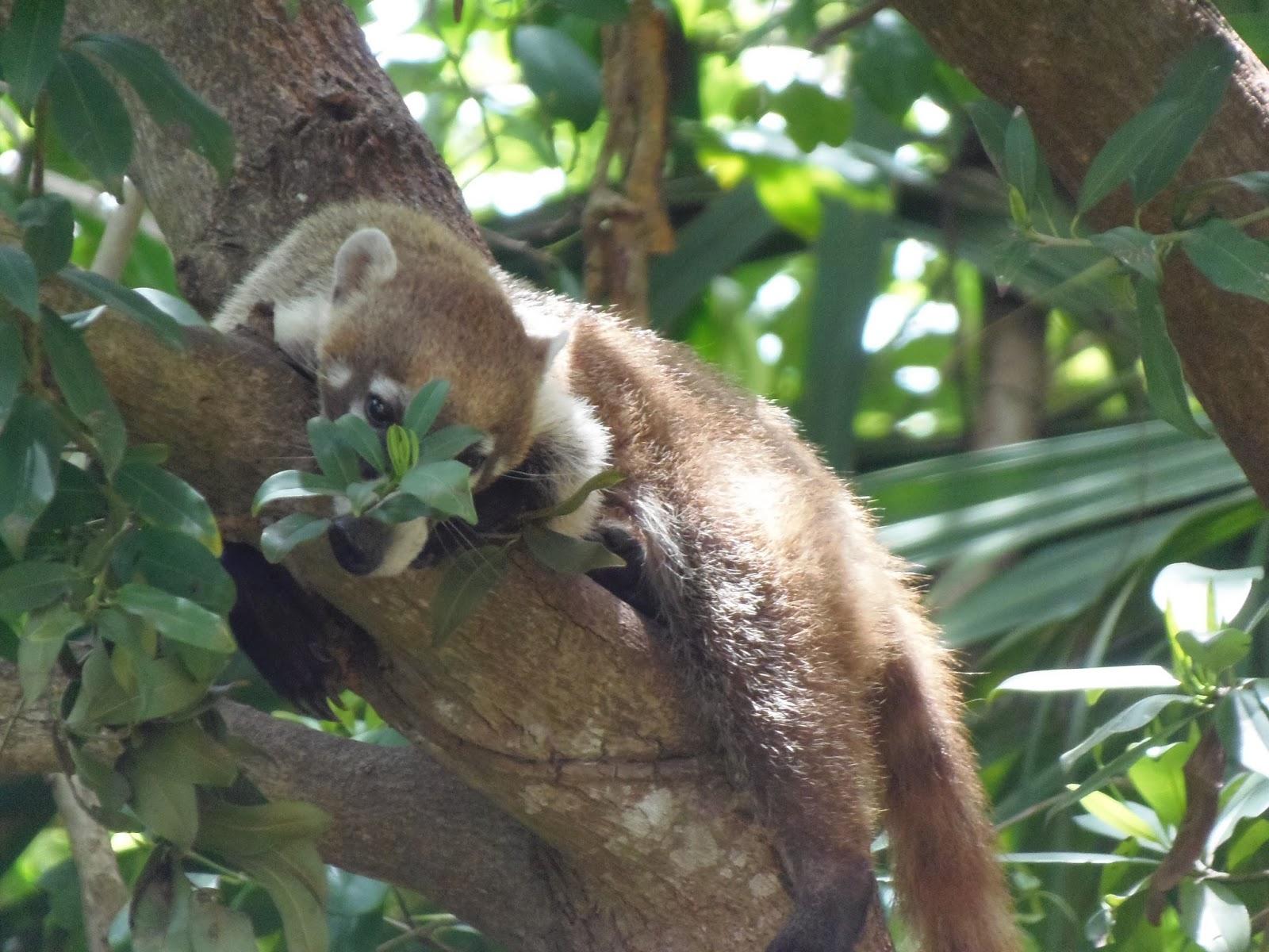 coati, wildlife, traveling, travel, mexico, holiday, trip, abroad,