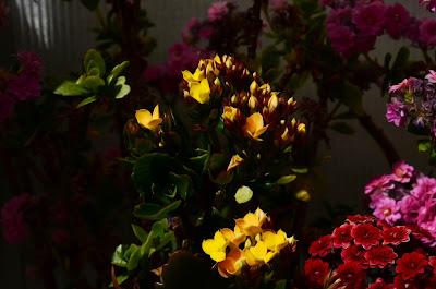 Flammendes Käthchen, Kalanchoe blossfeldiana, Blumen, flores, Flower, fleurs, květiny, Flores, blomme, blommor, çiçekler, kwiaty, Flor, Hoa, nở hoa, floración, bloom, Kukka, kukinta, La floraison, Fiore