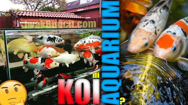Memelihara Ikan KOI di Aquarium: Bisakah, Bagaimana Caranya dan Apa Saja yang Harus Dipersiapkan?