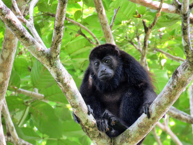 Costa Rica Wildlife: Howler monkey