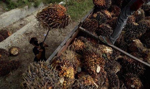 Asosiasi Petani Sawit Di Riau Dapat Sertifikat Dari RSPO