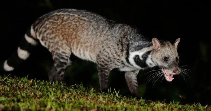 Reaparece en la India un animal que se creía extinto desde 1987; gracias a la cuarentena
