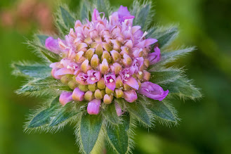 [Caprifoliaceae] Knautia sp. – Scabiosa (Ambretta) – could be K. longifolia