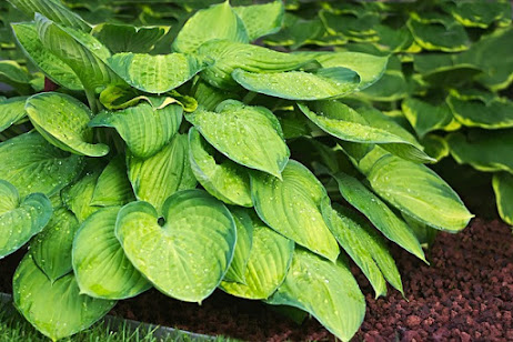 Hosta with lime green foliage and dark green margins.