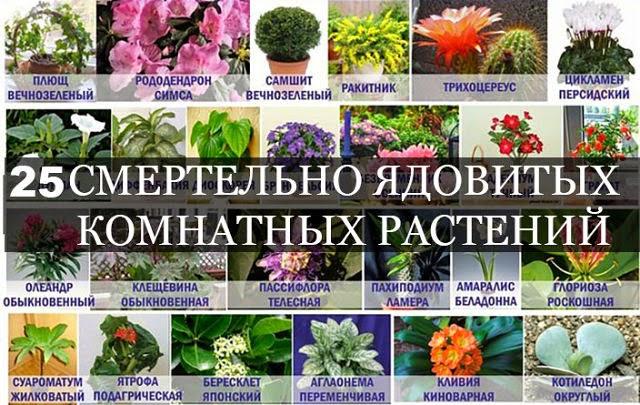 ядовитые комнатные цветы фото и названия огурцы рецепт зиму