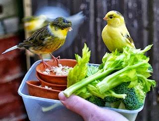 kenari sedang makan