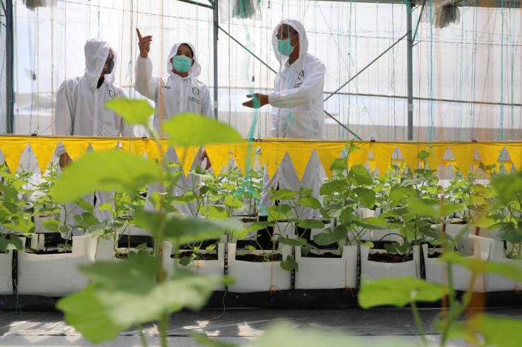 Rangga, Petani Muda ini Berhasil Tanam Melon Tanpa Pestisida