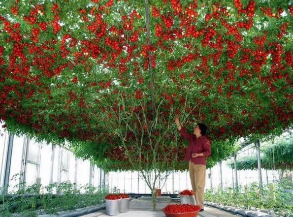 10.000 ντομάτες από μία μόνο ντοματιά photos