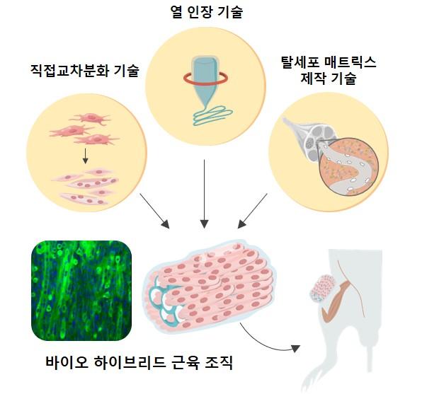 ▲ 연구진이 개발한 인공 근육 조직 개발 및 생체 적용 모식도