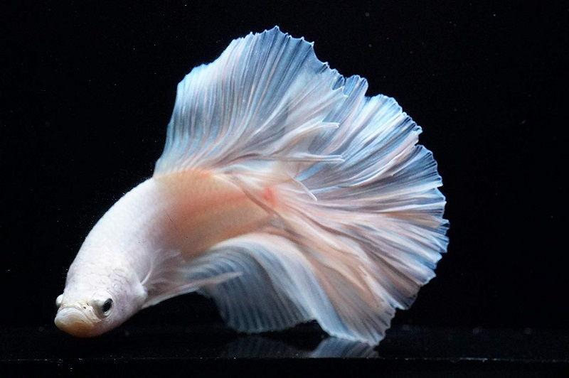 Image White Betta 2