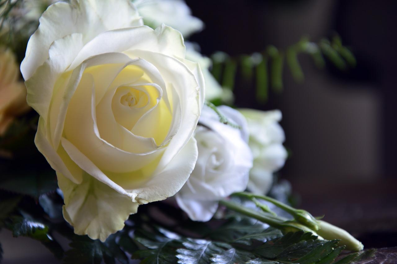 white rose 1556129314