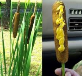 cattail corn dogs: Donald Trump Mexico Wall / 15,000 Mile Food Court Wall: 8 Food Funneree Choices