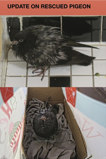 "ALT TEXT: This is a photo montage of a pigeon who fell ill and whom I rescued with someone's help. He is a pigeon fledgling. The montage is comprised of two photos. The top one shows the pigeon sitting on a tiled floor. The second one shows him in a shopping bag which was used to carry him to The Wild Bird Fund in NYC. This organization, as well as pigeons, are just two of many topics featured in my book series, ""Words In Our Beak."" Info re these books is on my blog @ https://www.thelastleafgardener.com/2018/10/one-sheet-book-series-info.html"