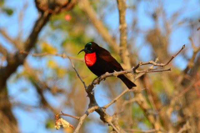 Chalcomitra senegalensis