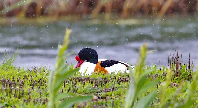 Tarro blanco macho - Laguna de Aclimatación - Tablas de Daimiel