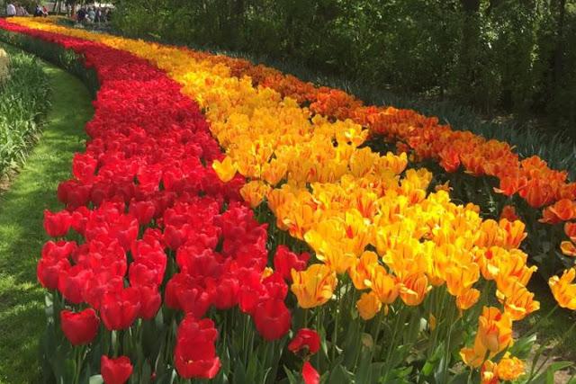 dutch tulips in bloom
