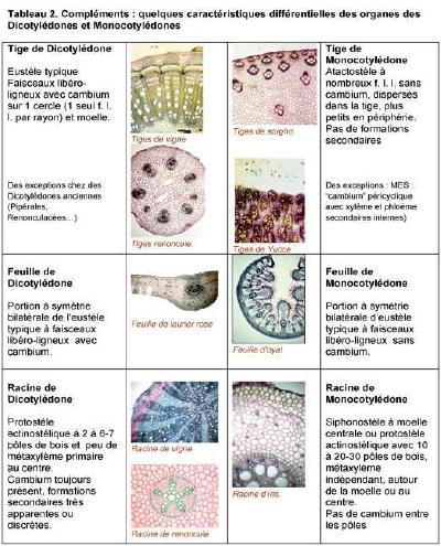 dicotylédones et monocotylédones