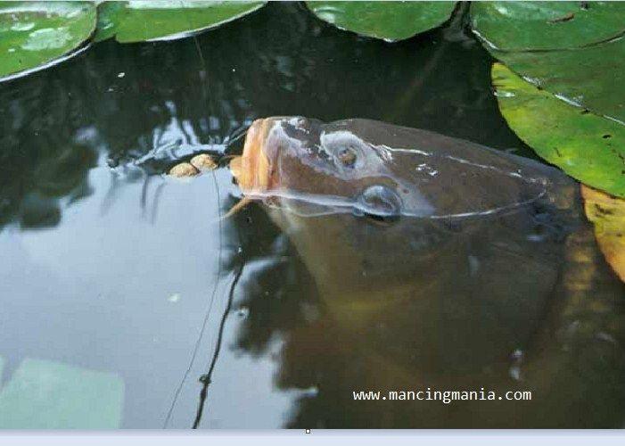 Umpan Ikan Patin Di Danau
