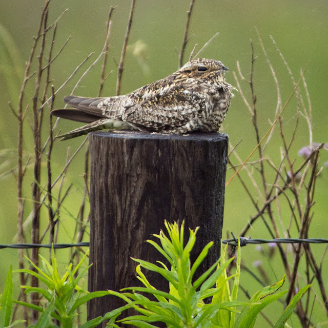 Common Nighthawk, Anahuac NWR
