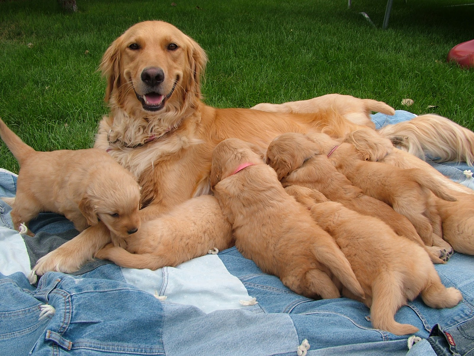 Goldie S Goldens Akc Purebred Golden Retriever Puppies For Sale