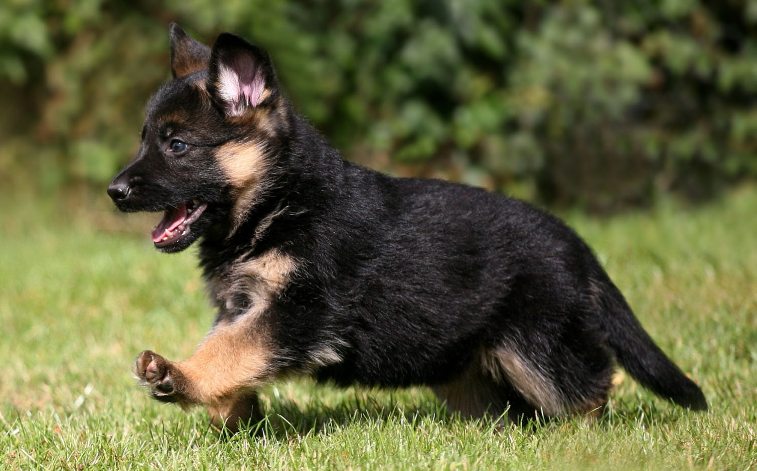 Purity Of The German Shepherd Puppy