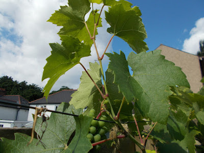 Summer pruning grapevines Green Fingered Blog