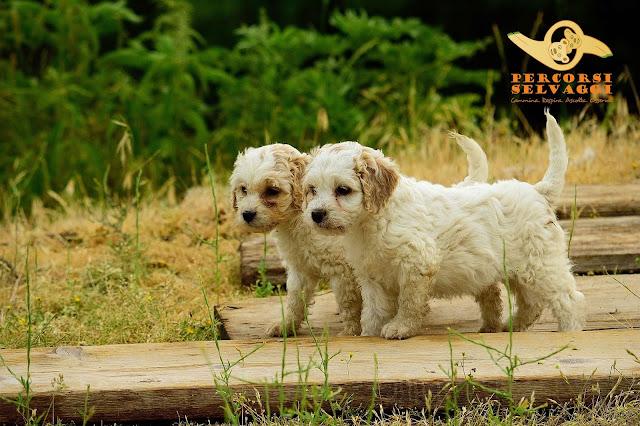 cuccioli di lagotto