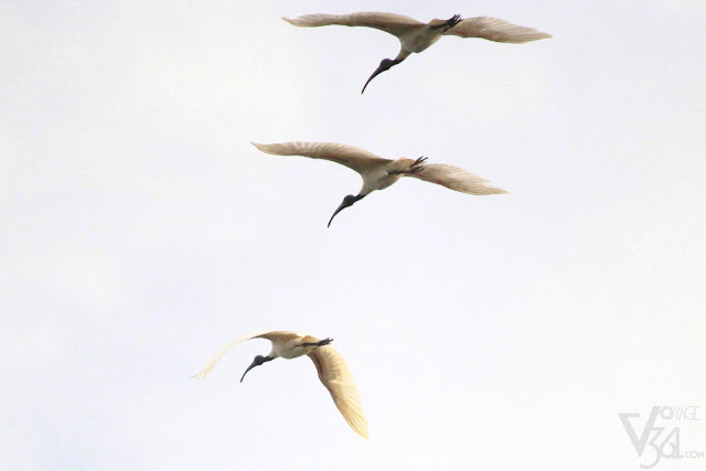 Ibises in flight